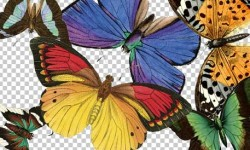 صور فراشات Butterflies Pictures